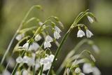 Summer Snowflake (Loddon Lily (Leucojum Aestivum) Flowering in Damp Riverside Woodland