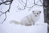 Arctic Fox (Vulpes Lagopus)  Polar Park  Troms  Norway  Scandinavia