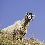 Close Up of the Traditional Black Faced Swaledale Sheep Found Throughout the Yorkshire Dales