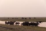 African Elephants (Loxodonta Africana)  Chobe National Park  Botswana  Africa