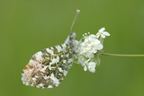 Orange Tip Butterfly (Anthocharis Cardamines) Resting on Common Valerian Flowers