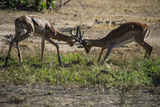 Impala (Aepyceros Melampus) Fighting in the Liwonde National Park  Malawi  Africa