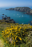 Gorse Blooming on the West of Coast of Sark with a View of the Island of Brecqhou