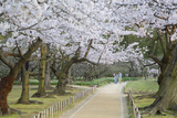 People Walking under Cherry Trees in Blossom in Koraku-En Garden