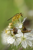 Male Yellow Dung Fly (Scathophaga Stercoraria) Standing on Blackthorn Flowers (Prunus Spinosa)