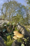 Sulphur Tuft Fungi (Hypholoma Fasciculare) Growing on a Rotten Mossy Log in Deciduous Woodland