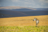 Plains Zebra (Equus Quagga)  Nyika National Park  Malawi  Africa