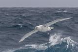 A Rare White Morph of the Southern Giant Petrel (Macronectes Giganteus)  English Strait  Antarctica