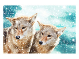 Coyote Pair & Blue Winter Sky