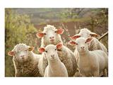 Curious Flock of Sheep Reproduction d'art