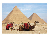 Camels and Pyramids Giza Egypt