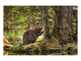 Beaver Closeup in the Forest Reproduction d'art
