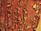 Arbutus Tree  Bark Pattern  British Columbia  Canada