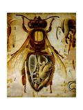Anatomy of the Honey Bee  No13  Pfurtscheller's Zoological Wall Chart