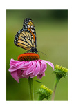 Monarch Butterfly and Flower