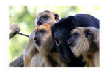 Howler Monkey Group