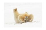 Polar Bear Playing in Snow