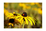 Black Eyed Susan and Ladybug