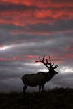 Elk and Sunset