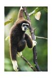Lar Gibbon