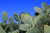 Prickly Pear Cactus (Opuntia Ficus-Indica  also known as Indian Fig Opuntia  Barbary Fig  Spineless