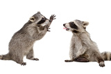 Two Funny Raccoon Playing Together