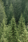 Green Coniferous Forest with Old Spruce  Fir and Pine Trees