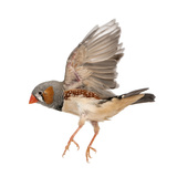Zebra Finch Flying  Taeniopygia Guttata  against White Background