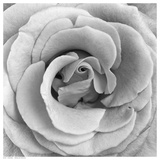Rose Swirl II
