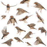 Composition of Zebra Finch Flying  Taeniopygia Guttata  against White Background