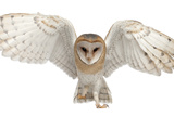 Barn Owl  Tyto Alba  4 Months Old  Portrait Flying against White Background