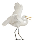 Great Egret or Great White Egret or Common Egret  Ardea Alba  Standing in Front of White Background