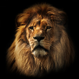 Lion Portrait on Black Background Big Adult Lion with Rich Mane