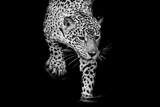 Close up Black and White Jaguar Portrait