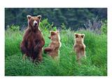 Grizly Bears at Katmai Alaska