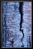 Abstract Birch Tree Bark Pattern in Winter