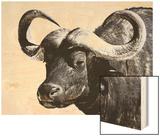 Cape Buffalo  Masai Mara National Reserve  Kenya  East Africa
