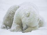 Polar Bear (Ursus Maritimus) Sleeping  Hudson Bay  Canada