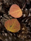 Aspen Leaves on Pine Cones in the Fall  Stanislaus National Forest Reserve  California