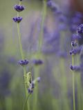 Grasshopper with Lavender  Washington  USA