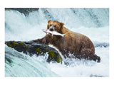 Salmon Fishing Grizzly Alaska