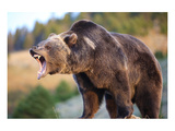 North American Grizzly Roaring