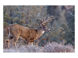 Whitetail Buck Deer Stag
