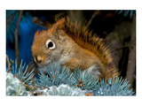 Red Squirrel in a Blue Spruce