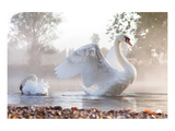 Swan Stretching on Misty Lake