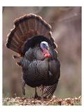 Wild Tom Turkey in a Forest