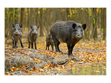 Wild Pig in the Autumn Forest Reproduction d'art