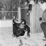 Chimpanzees of Bertram Mills Circus  1955