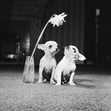 Two Pups Looking at a Flower in a Vase  1962