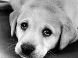 A Labrador puppy  1978